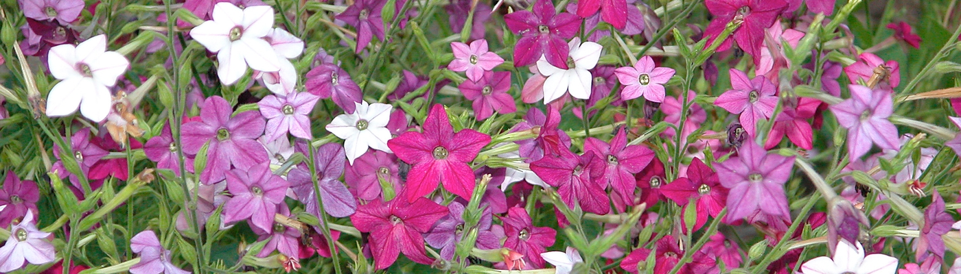 Nicotiana Alata Carl Lewis http://www.flickr.com/photos/carllewis/1200649250/